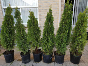 Emerald green cedar 4ft