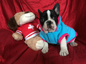 Oscar, a Gorgeous Male French Bulldog Puppy Available