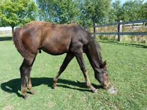 BEAUTIFUL BLACK BAY REGISTERED APPALOOSA COLT