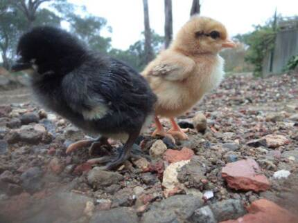 2 1⁄2 Week old Chickens $12 or 5 for $50 Guys Hill Cardinia Area Preview