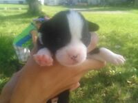 Blue Boston Bulldog puppies 2 Males left