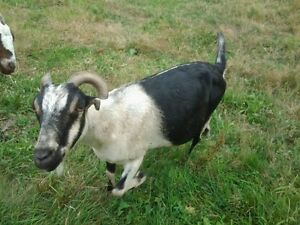 Adult female LaMancha Goat for sale Abbotsford