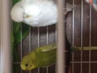 Budgie Birds for sale and two English