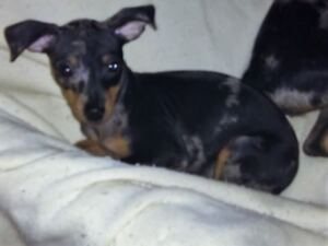 1 MALE  HARLEQUIN [MERLE] MIN PIN PUPPY