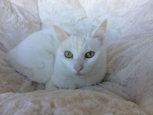Beautiful, white cat looking for a forever home