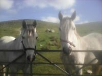 Two Highland X Geldings for sale