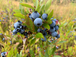 Leasing Blueberry Land
