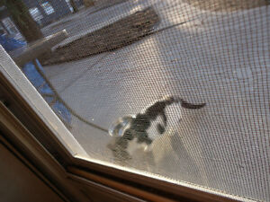 2 WHITE & BLACK KITTEN or SMALL CATS Found Windsor Region Ontario image 2