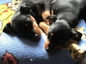 Min Pin Puppies  Creston B.C