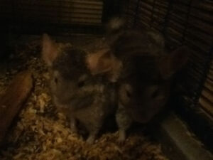 Young Chinchillas