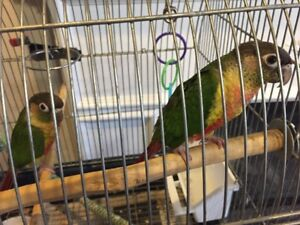 Hand fed Baby Conures