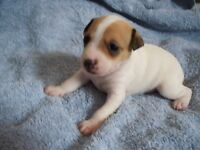 toy rat terriers for sale