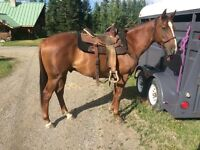 7 y/o Quarter horse cross gelding for sale