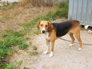 Walker hound for sale (Open for offers)