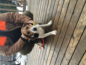 Looking for home for loving beagle