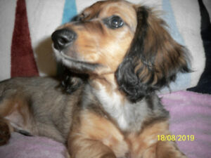 1 GORGEOUS PURE LONG HAIR DACHSHUND BABY-OLDER CHAMPION LINES