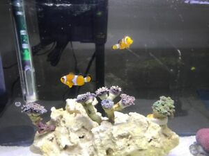 2 clown fish for sale