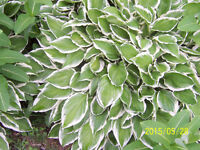 Large hosta plants