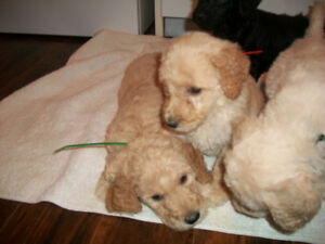 Small Standard Poodles Puppies