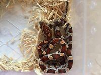 Corn snake hatchling