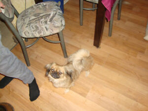 PEKINGEESE PUPPIES FOR RESERVATION