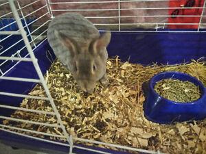 Mini Rex rabbit for rehoming