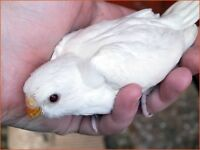 Gorgeous Baby Yellow Latino Red Rump Parrot