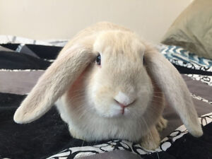 Sweet holland lop bunnies! Litter trained!