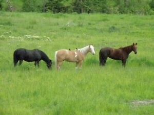 Tennessee Walker or  X-Breed, Gaited