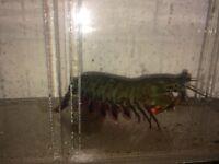 mantis shrimp for salt water, need it gone