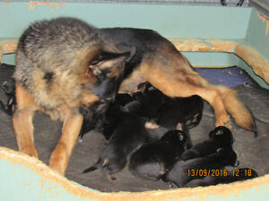 Non Registered German Shepherd Pups