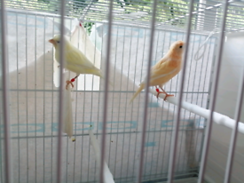 Two canary males for sale