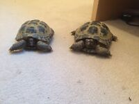 Horsefield tortoises for sale