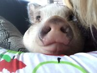 Pot belly pig for good home