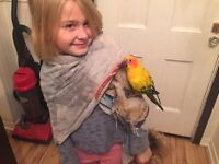 Mexican sun conure, around 1 yr old, hand raised OBO