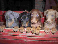 Registered Male and Female Doberman Puppies