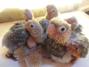 Pineapple Conure and Yellow Sided Conure Baby Parrots