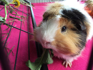 1 year old male guinea pig with supplies