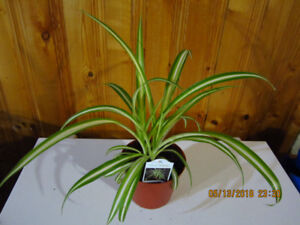 Spider Plant /Clean Air/Low Light