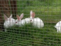 Baby Rabbits £20 or 2 for £35