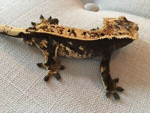 Breeding pair of high end crested geckos