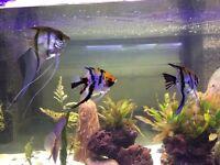Angel Fish x4 (1 pair of them)