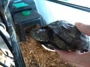 adult box turtles