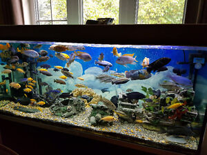 Cichlids - Many Cichlids for sale
