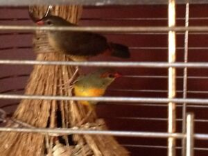 GOLD BREASTED FINCH PAIR FOR $100