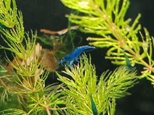 10 Crevettes Blue Velvets Shrimp
