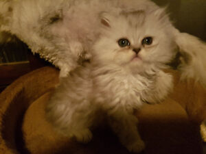 silver shaded persian kittens