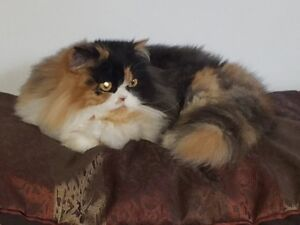 Chatte persan calico