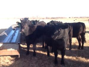 Black Angus Heifers for Sale