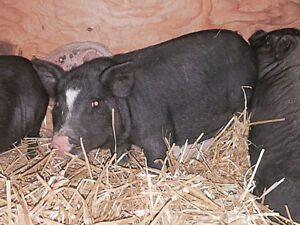 Baby Pot Bellied pigs